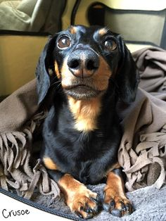 crusoe dachshund recovery - good luck crusoe!!!