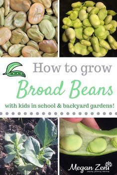 Broad beans are an easy, nutritious and delicious crop to grow with young children in school or backyard gardens. They are cold weather crops, which means they grow well during the school year too! Organic Gardening Tips, Sustainable Gardening, Growing Vegetables At Home, Mud Kitchen, Outdoor Education, Outdoor Classroom, Kids Learning Activities, Botany, Young Children