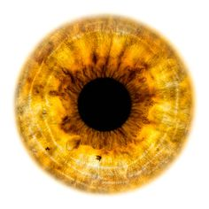 Windows to the Soul - Iris gallery by Fine Art Photographer Edouard Janssens. Yellow Iris Eye, Yellow Eyes, Eye Texture, Blue Background Images, Human Body Parts, The Bad Seed, Eye Photography, Dnd Characters, Eye Art
