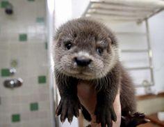 Baby otter http://ift.tt/2oJ4egA