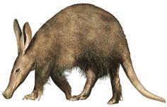 aardvarken - Google zoeken