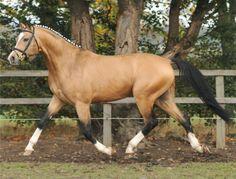 black-tobiano: Legrande, 16.2hh Buckskin Oldenburg Stallion (1993)