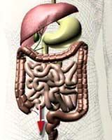 Der Darm – das zweite Gehirn   BEWUSSTscout - Wege zu Deinem neuen BEWUSSTsein