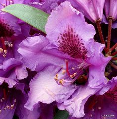 images of state flowers | Pennsylvania State Flower mountain laurel pictures |