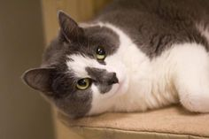 Aeneas is a female DSH who is very affectionate & loves her nap time. She us available at Save-A-Pet, Grayslake,IL.