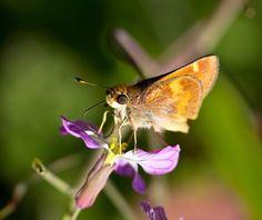 Little Glassywing Butterfly