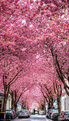 Cherry trees at Heerstrasse, Bonn Germany