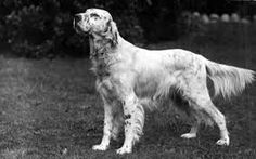 Image result for english setter head