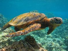 snorkeling in Maui - love the turtles...one of my most favorite traveling experiences ever