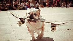11 conseils pour apprendre votre Bulldog à faire du skateboard