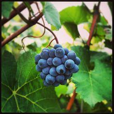 "Un grappolo di Pinot Nero. #grapes #pinotnoir #pinot #uva #vine #vineyards #black #nature #natura #vino #wine #franciacorta #lovewine #winelovers #instawine #picoftheday #instapic #lombardia #brescia #adro #leaves #leaf  #violet #instaitalia #instagramitalia #scatti_italiani"""