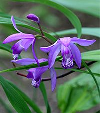 Bletilla striata blooms in May and June with  delicate orchid-like flowers.