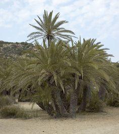 http://jungletropicale.com/2012/09/phoenix-theophrasti/    #jardinage #palmiers    Cliquer l'image pour lire l'article.