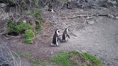 While venturing around Cap Peninsula, South Africa this tourist discovered two male African penguins trying to fight over a female.