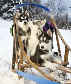 """""""We thought you said we are sled dogs....you didn't mean WE had to pull it ..did you?!"""""""