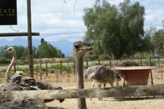 Highgate Ostrich Show Farm just outside Oudtshoorn. Enjoy a hour tour of the farm, touch the young ostriches, ride an ostrich. entrance fee per person. Ostriches, Thing 1, South Africa, Attraction, Camel, Places To Visit, African, Tours, Activities