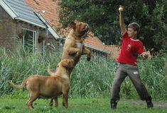 Jan and Sonja Dijkstra of Kennel de Legeane in the Netherland discuss the balancing at that Dogue breeders face. Modern Molosser  |  www.modernmolosser.com