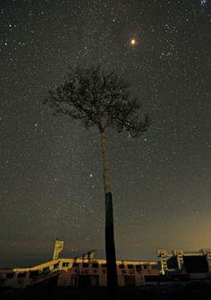 Miracle Pine in Japan