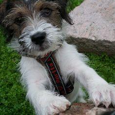 heididahlsveen:  #atsjoo #puppy #valp