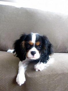 Love the Tri Puppy's