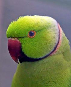 Cute Birds, Pretty Birds, Small Birds, Colorful Birds, Beautiful Birds, Animals Beautiful, Passaro Ring Neck, Green Parrot Bird, Vogel Illustration