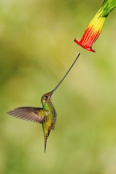 Look at that bill on this hummingbird!