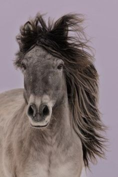 The gray Yakut horse. - The Yakutian horse, sometimes called the Yakut horse, Yakut pony or simply the Yakut, is a rare native horse breed from the Siberian Sakha Republic region. It is large compared to the otherwise similar Mongolian horse and Przewalski's horse.