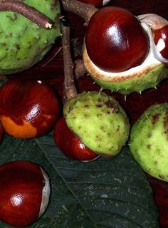 Another of our alltime favourite things - opening a horse chestnut and being the…