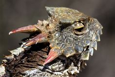 Southern-Desert-Horned-Lizard-Phrynosomatidae-Phrynosoma-platyrhinos-calidiarum-3 | Flickr - Photo Sharing!