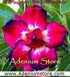 Adenium Seeds 'Triple Moonlight' 5 Seeds