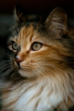 Beautiful Calico Kitty. #calicoes #cats #kittens #pets #animals