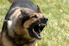 Aggressive Dog Training - Training Your Dog - A Simple Way To Establish A Proper Relationship *** More details can be found by clicking on the image. Leash Aggression, Reactive Dog, Stop Dog Barking, Dog Attack, Dangerous Dogs, Military Dogs, Police Dogs, Aggressive Dog, Dog Fighting