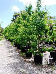 Popular Australian Trees - Ornamental Pears | Plantmark