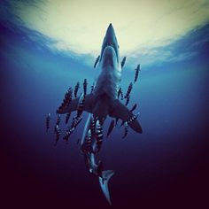 Shark Explorers -  Never seen such a armada of pilot fish on a Mako!!! Image by Brocq Maxey