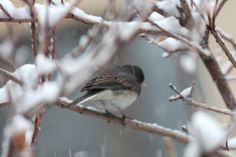 """Yesterday's snowstorm has been called """"Winter's Last Hurrah.""""  I witnessed sleet-like rain turning into a heavy wet snowfall in my garden. Snow piled quickly atop all my bird feeding stations and upon the branches of my shrubs as well as my trees. I almost missed seeing a lone dark-eyed junco, because his/her white belly plumage blended in with the snow. View 1 of 3. Full story @ https://www.facebook.com/TheLastLeafGardener/posts/790615030987872"""