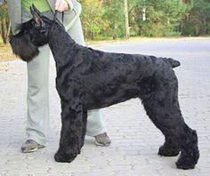 giant schnauzer | Giant Schnauzer opawz.com supply pet hair dye,pet hair chalk,pet perfume,pet shampoo,spa....