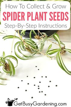 Organic Gardening Supplies Needed For Newbies Growing Spider Plant Houseplants From Seed Is Easy. Here Are Detailed Instructions For How To Collect And Grow Spider Plant Seeds, And Care For Spider Plant Seedlings.