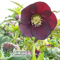 "The first sign of spring in the perennial garden!  Winter Thrillers™ 'Night Coaster' Helleborus displays large 2 1/2"" blooms that will hold their color up to 12 weeks!  A deer and rabbit resistant beauty for the garden.  Hardy in zones 4-9.  http://www.gardencrossings.com/plantname/Helleborus-Night-Coaster"