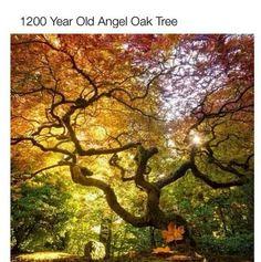1200 yr old angel oak tree