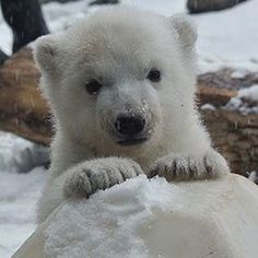 Animals Images, Zoo Animals, Animals And Pets, Funny Animals, Cute Animals, Cute Polar Bear, Polar Bears, Animal Species, Endangered Species