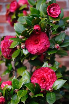 Camellia japonica 'Nuccio's Bella Rossa' (U.S., 1992) is supposed to have an unusually long blooming season