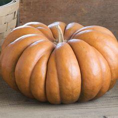 Explore our award-winning selection, including heirloom pumpkin varieties. Organic seed and bulk sizes available. Our pumpkin seeds are guaranteed. Provence, Pumpkin Varieties, Squash Bugs, Cucumber Beetles, Large Pumpkin, Pumpkin Farm, Cinderella Pumpkin, Pumpkin Squash, Urban Farmer