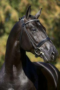Most Beautiful Animals, Beautiful Horses, Beautiful Creatures, Pretty Horses, Horse Love, Warmblood Horses, Thoroughbred, Majestic Horse, Black Horses