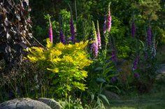 "Japanese Maple ""Acer shirasawanum"", wild Foxgloves and Fagus sylvatica f. atropunicea ."