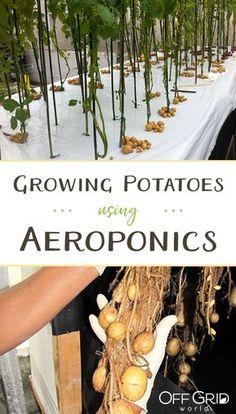 Growing potatoes using aeroponics Hydroponic Farming, Backyard Aquaponics, Hydroponic Growing, Aquaponics System, Hydroponic Systems, Diy Hydroponics, Aquaponics Plants, Aeroponic System, Permaculture