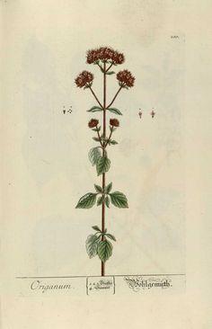 """El orégano es una planta aromática muy utilizada en la cocina mediterránea. (Origanum) """"Herbarium Blackwellanium""""  Nüremberg 1757"""