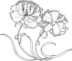Carnation+Drawing | Two Carnations coloring page
