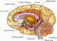 sheep brain diagram biology corner race car wiring dissection lab sheet ap psychology prep below the level of cerebral cortex lies thalamus s information relay network surrounding is a group structures