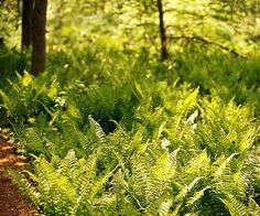 Ostrich fern Get detailed growing information on this plant and hundreds more in BHG's Plant Encyclopedia.
