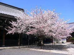 光悦らしい斬新な庭 本法寺「三巴の庭」  #京都 #春 #kyoto #spring #japan